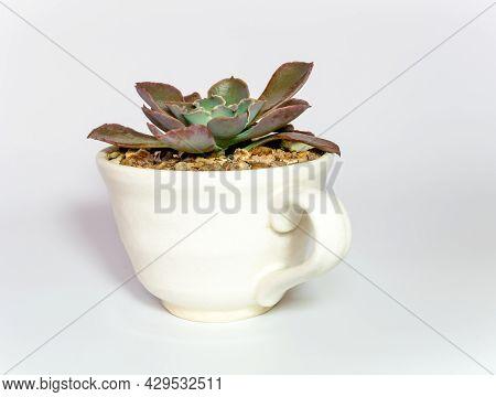 Succulent Plant Close-up Echeveria Plant In The Earthen Cup
