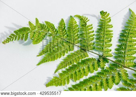 Wood Fern, Male Fern, Dryopteris Leaf Close Up Isolated On White Background.