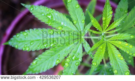 Irrigated Fresh Foliage Of Medical Cannabis In Growth Stage, Top View Of Water Drops Refreshing Text
