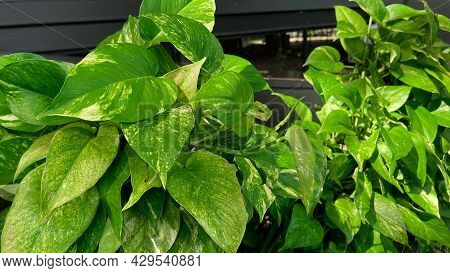 Spotted Betel. Betel Leaves Spotted On The Background