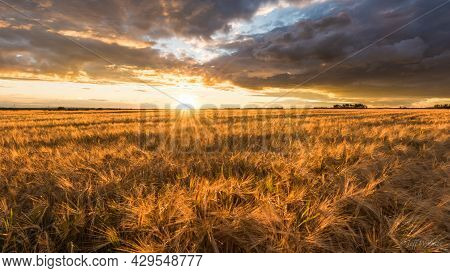 Beautiful Ripe Wheat Field Brown Color Plant Fields Wheat Field With Sun Rise New Picture Beans Of W