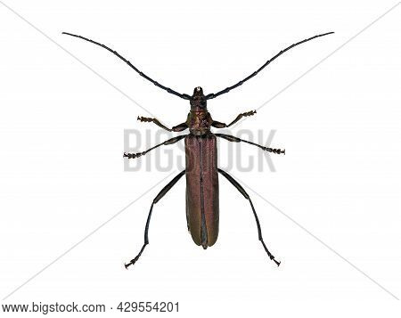 The Musk Beetle, Aromia Moschata, Top View, Isolated On White Background