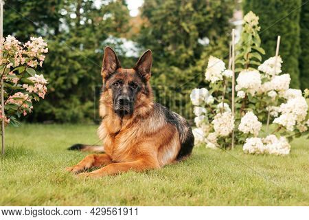 Portrait Of An Adult German Shepherd Dog In A Garden. Purebred Dog Lying On The Grass With Flowers