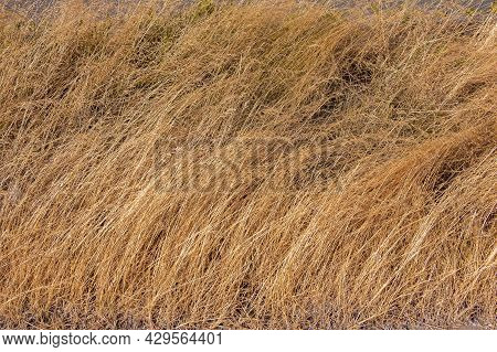 Dry Grass Background, Nature, Ecology And Harvest Concept, Dried Grass Field With Spikelet Dry Plant