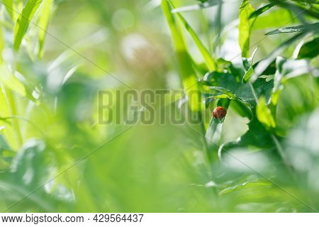 Pretty Red Ladybird Beetle Or Ladybug (coccinellidae) In Lush Greenery Of Wild Flowers And Grasses I