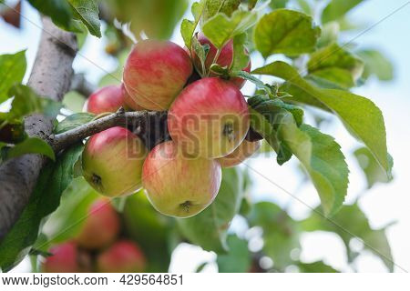 Delicious Red And Yellow Apples Growing On Apple Tree In Organic Orchard In Vaud, Switzerland During