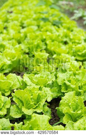 Rows Of Planted Lettuce At Vertical Composition