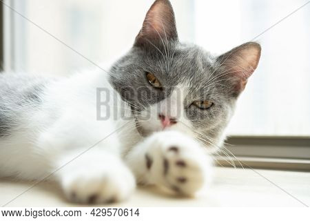 A Young British Shorthair Cat Laying Down Near A Window
