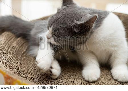 A British Short Hair Cat Cleaning Her Body On A Corrugate Cat Scratcher