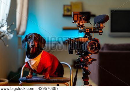 Stylish Dachshund Dog In White Shirt And Res Jacket Sits Next To Professional Video Camera On A Trip