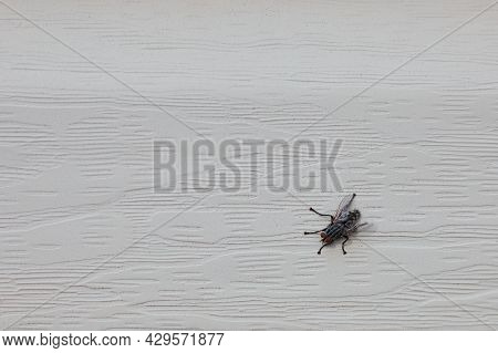 A Flesh Fly (of The Family Sarcophagidae) Clings To The Cream Vinyl Siding On The Wall Of A House.