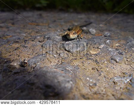 Lizard Portrait   Front View Of Reptile On Rocky Road   Brown Animal Scene