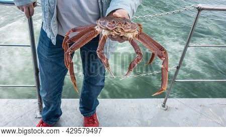 A Man Is Standing On The Deck Of The Ship And Holding A Large Live Snow Crab Strigun In His Hand. Lo