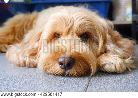 Cockapoo Puppy On  Floor In Daylight  Cocker Spaniel Mixed With Poodle