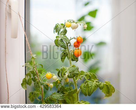 Unripe And Ripe Small Tomatoes Growing On The Windowsill. Fresh Mini-vegetables In The Greenhouse On