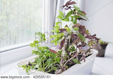 Kitchen Herbs Growing In A Plastic Container On A Kitchen Windowsill. Indoor Gardening , Mint, Basil