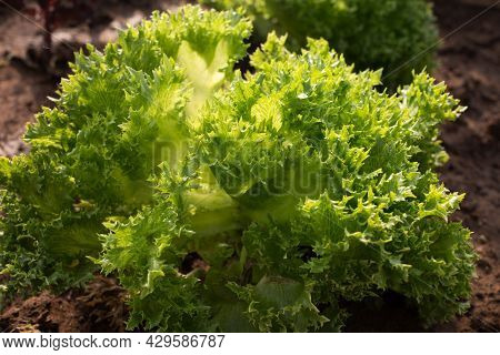 Fresh Green Fresh Leafy Lettuce Salade In The Garden,