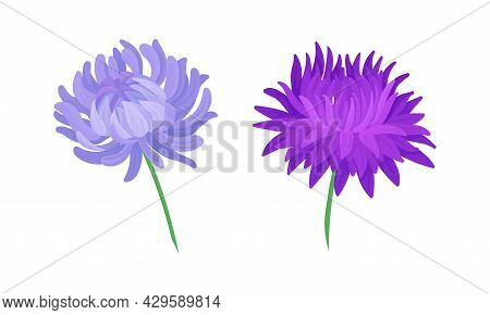 Aster Flowers Set. Blooming Chrysanthemums, Floral Design Elements For Decoration Of Invitation, Gre
