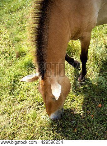 Przhivalskys Wild Horse Grazes In The Meadow. Ruffled Mane