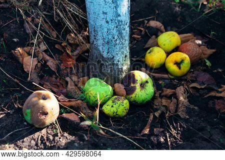 Apples On The Ground Around The Apple Tree . Spoiled Fruit Crop
