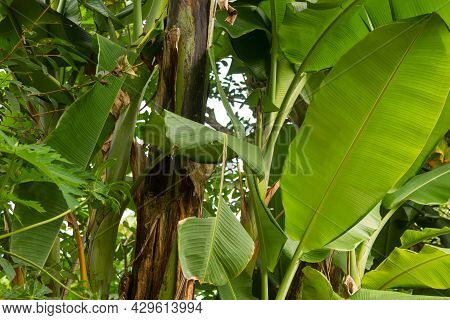 A Clump Of Banana Trees With Green Leaves And Dark Brown Leaves, Old Midribs Turn Brown
