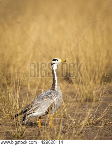 Bar Headed Goose Closeup In Open Grassland And Field During Winter Migration At Forest Of Cental Ind