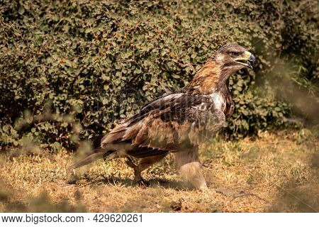 Tawny Eagle Or Aquila Rapax Portrait Walking Or Perched On Ground In Natural Green Background At Tal