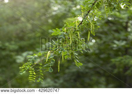 Caragana Arborescens, Siberian Shrub, Siberian Pea Or Caragana. Close-up Of A Branch Of Yellow Acaci