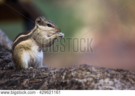 Squirrels Are Members Of The Family Sciuridae, Includes Small Or Medium-size Rodents. \n Tree Squirr