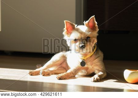 Portrait Of Older Yorkshire Terrier. Small Dog Is Resting On The Floor In Apartment In Morning Sun.