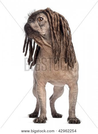 Hairless Mixed-breed dog, mix between a French bulldog and a Chinese crested dog, standing, looking left and wearing a dreadlocks wig in front of white background