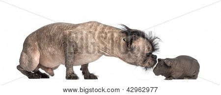 Hairless Mixed-breed dog, mix between a French bulldog and a Chinese crested dog, sniffing a hairless guinea pig in front of white background