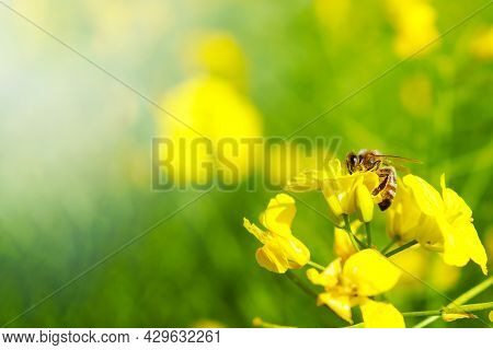 Honey Bee Collecting Dust On Yellow Rapeseed Flower, Bee Flying From Flower To Flower, Nature Landsc