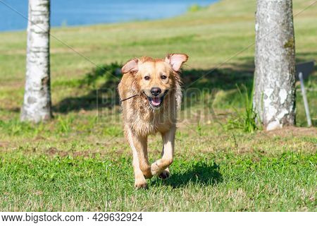 Golden Retriever Dog Running On The Summer Field.labrador Retriever Dog Outdoors In The Nature On A