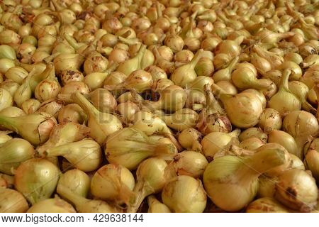 There Are A Lot Of Onions In The Background For Planting In The Garden And Harvesting.onion Seedling