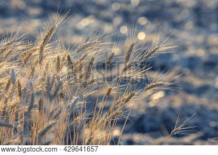 Spikelets Of Wheat On The Field Close-up In Sunbeams. Agriculture And Agroindustry
