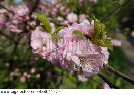 Closeup Of Double Pink Flowers Of Prunus Triloba In Mid April