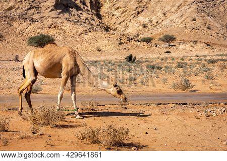 The Dromedary, Arabian Camel (camelus Dromedarius) With Legs Bound, Grazing In The Desert Of Sharjah