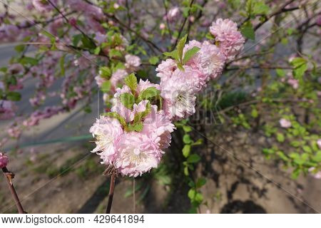 Double Pink Flowers Of Prunus Triloba In Mid April
