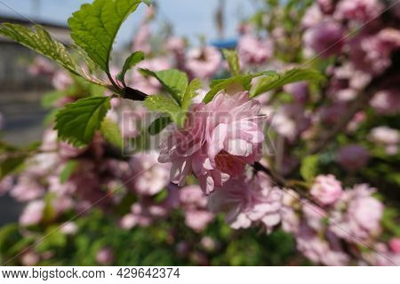 Side View Of Double Pink Flower Of Prunus Triloba In Mid April
