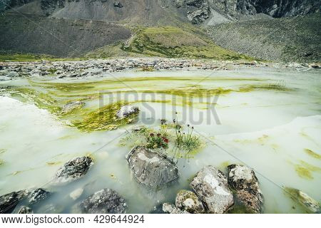 Vivid Alpine Landscape With Beautiful Pink Flowers Of Rhodiola Algida Among Stones In Water Of Water