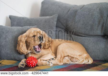 Dog Yaws On The Sofa. American Cocker Spaniel Sleeps On The Sofa