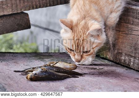Cute Ginger Cat Sniffing Small Fresh Fish On The Old Wooden Porch Of A Rural House.