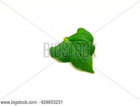 Homegrown New Zealand Spinach Or Tetragonia Tetragonioides Leaf Isolated On White