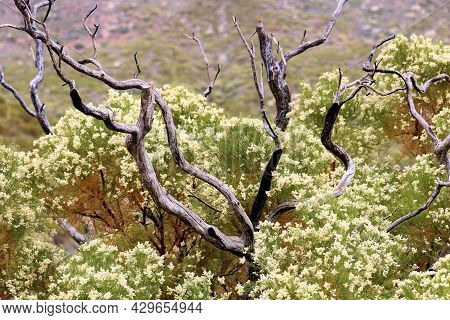 Remnants Of Burnt Branches Caused From A Past Wildfire Besides A New Growth Chaparral Plant With Flo