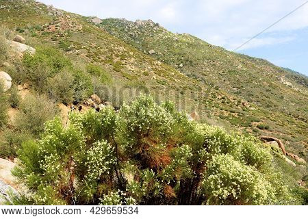 Chaparral Shrub With Flower Blossoms On An Arid Mountain Slope Taken At A Chaparral Woodland In The
