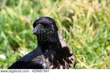 Hooded Crow In A City Park In Israel Collects Bread Crumbs