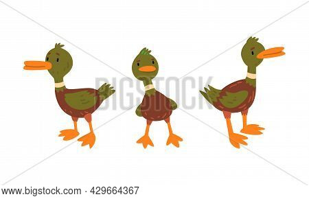 Male Mallard Duck With Orange Bill In Standing Pose Vector Set