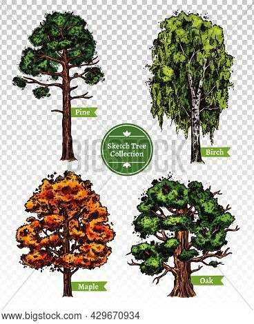 Four Colorful Deciduous Sketch Trees Set With Maple Oak Birch And Pine Isolated On Transparent Backg