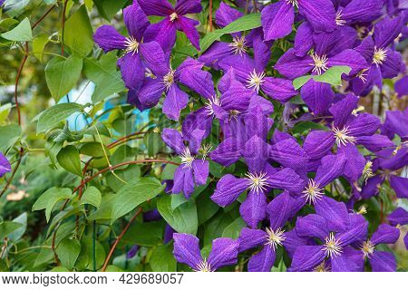 Clematis, Jackmanii, Is A Beautiful Climbing Plant With Violet Flowers. It Is Blooming All Summer.